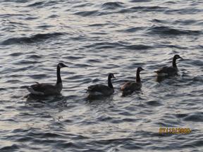 Swans at dusk